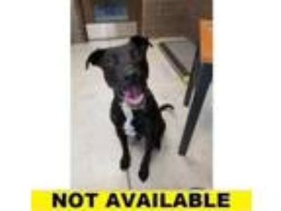 Adopt Scotty a Black Labrador Retriever / American Pit Bull Terrier / Mixed dog