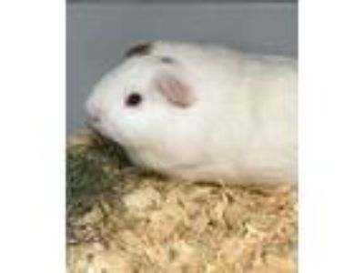 Adopt 42113420 a Brown or Chocolate Guinea Pig / Guinea Pig / Mixed small animal