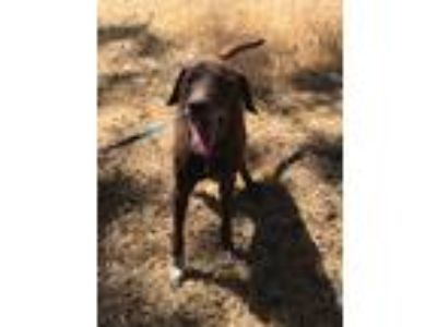 Adopt Sonny a German Shorthaired Pointer