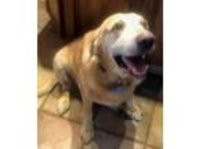 Adopt Ike a Tan/Yellow/Fawn - with White Labrador Retriever / Mixed dog in