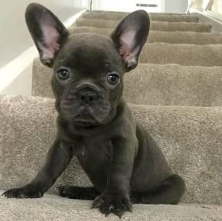 commendable French bulldog puppies available