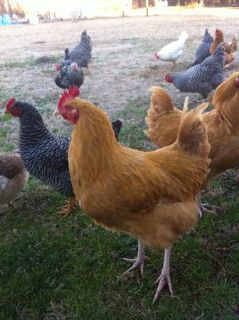 2 buff orpington roosters  (Central hooper rd)