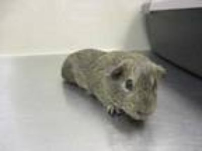 Adopt Knuckles a Brown or Chocolate Guinea Pig / Guinea Pig / Mixed small animal