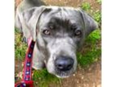 Adopt Lola a Cane Corso, Pit Bull Terrier