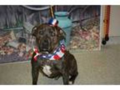 Adopt a Brindle American Pit Bull Terrier / Mixed dog in Modesto, CA (25554343)