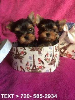 Yorkshire Terrier PUPPY FOR SALE ADN-78115 - friendly and playful eacup Yorkie puppies