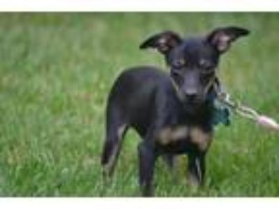 Adopt Truman a Miniature Pinscher, Italian Greyhound