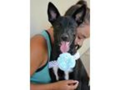 Adopt Nantucket a Black - with White Border Collie / Mixed dog in McKinney