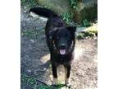Adopt Eliza - gorgeous puppy a German Shepherd Dog