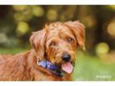 Adopt Yardley a Wirehaired Terrier