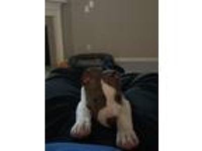 Adopt Cocoa a Brindle - with White American Pit Bull Terrier dog in Pittsboro