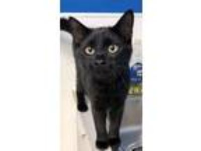 Adopt Bob the Builder (kitten) must go with Wendy a Domestic Short Hair