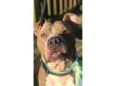 Adopt Cool Jay a Pit Bull Terrier