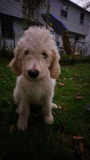 Goldendoodle PUPPY FOR SALE ADN-100259 - F1bb Goldendoodle puppy