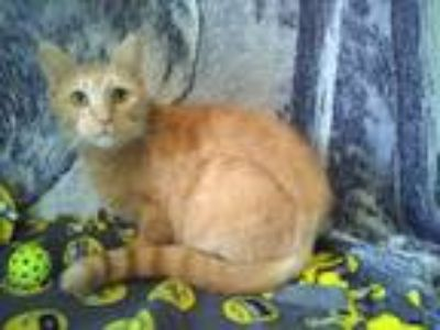 Adopt Marigold a Orange or Red Tabby Domestic Shorthair (short coat) cat in