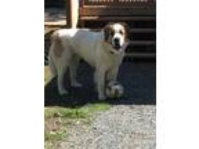 Adopt Odin a White - with Brown or Chocolate St. Bernard / Newfoundland dog in