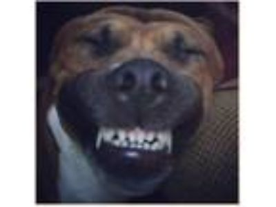 Adopt Rebel a Brown/Chocolate - with White American Pit Bull Terrier / Boxer /
