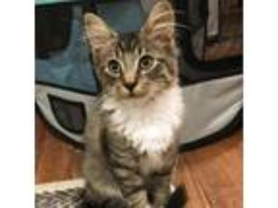 Adopt Monterey a Domestic Medium Hair