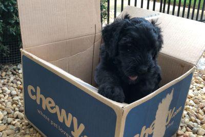 Premium Black Russian Terrier Puppies