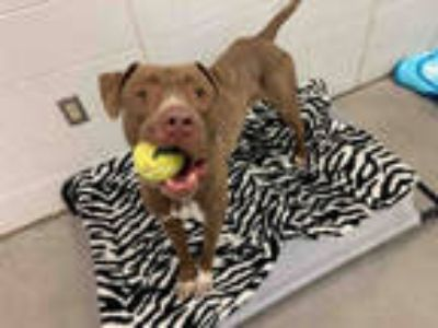 Adopt HEMI a Brown/Chocolate - with White American Pit Bull Terrier / Mixed dog