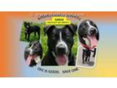 Adopt SARGE a Black - with White American Pit Bull Terrier / Mixed dog in