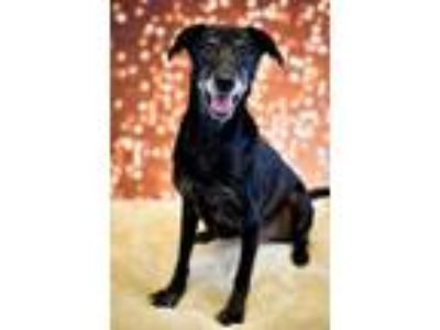 Adopt Taye - Adorable Lab Girl! a Black Labrador Retriever, Shepherd