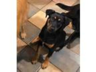 Adopt Jax JJ a Black Shepherd (Unknown Type) / Rottweiler / Mixed dog in Von