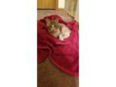 Adopt Bean a Calico or Dilute Calico American Shorthair / Mixed cat in