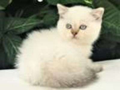 British Shorthair Color Point Male Kitten