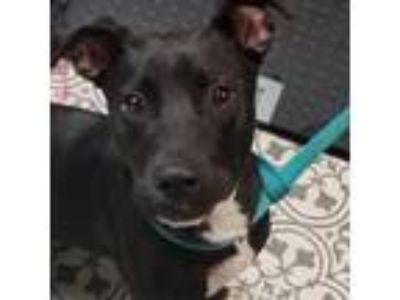 Adopt Chase a Black Labrador Retriever / Pembroke Welsh Corgi dog in Columbus