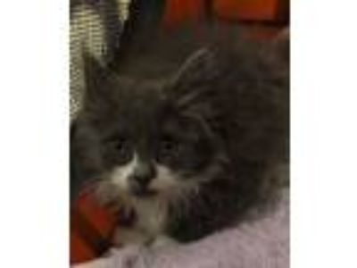 Adopt Bam-Bam a Domestic Long Hair