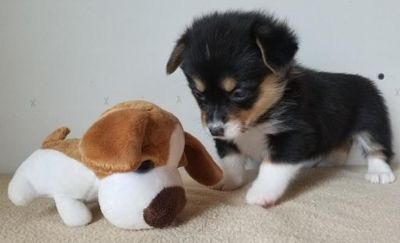 Pembroke Welsh Corgi PUPPY FOR SALE ADN-92792 - AKC Pembroke Welsh Corgi Pups