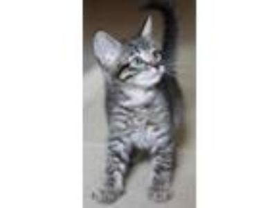 Adopt Ozzy Baby Kitten a Tabby