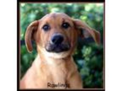 Adopt Rawlings a Red/Golden/Orange/Chestnut German Shepherd Dog / Mixed dog in