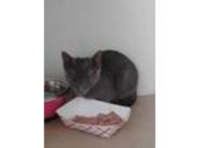 Adopt 41968599 a Gray or Blue Domestic Shorthair / Domestic Shorthair / Mixed