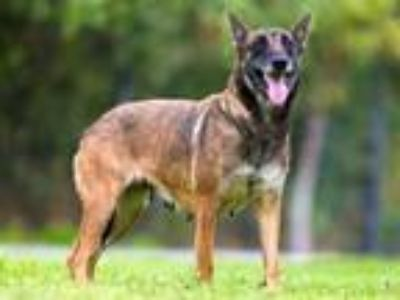 Adopt a Brown/Chocolate - with Black Belgian Malinois / Mixed dog in Long Beach