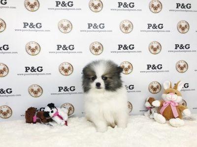 Pomeranian PUPPY FOR SALE ADN-69987 - Pomeranian  Jason