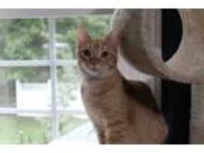 Adopt Mason a Orange or Red Tabby Domestic Shorthair (short coat) cat in