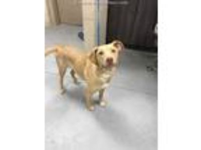 Adopt a Red/Golden/Orange/Chestnut Labrador Retriever / Mixed dog in Conroe