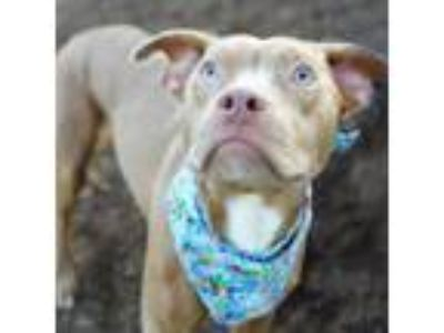 Adopt Randall a Brown/Chocolate American Pit Bull Terrier / Mixed dog in