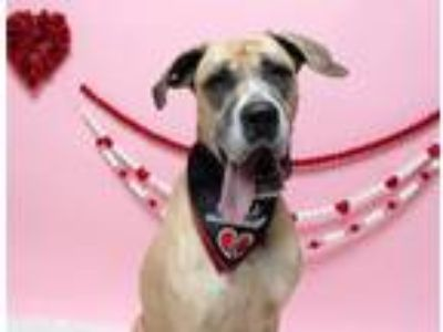 Adopt Bridget a Tan/Yellow/Fawn - with White Great Dane / Mixed dog in Silver