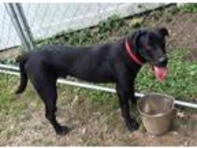 Adopt Licorice a Black Labrador Retriever / Mixed dog in Middletown
