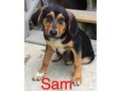 Adopt Sam a Black Hound (Unknown Type) / Mixed dog in Dahlonega, GA (25275660)