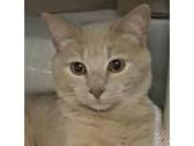 Adopt Jac Jack a Tan or Fawn Domestic Shorthair / Domestic Shorthair / Mixed cat