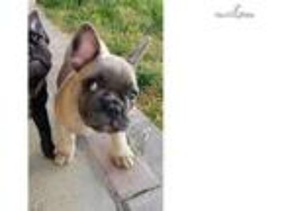 blue male fawn french bulldog