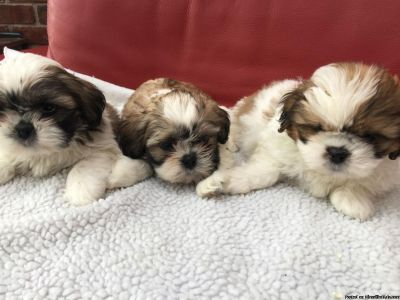 Adorable Shih Tzu puppies ready for adoption