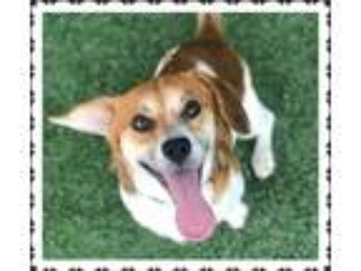 Adopt KIKO a White - with Brown or Chocolate Beagle / Mixed dog in Marietta