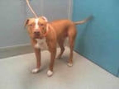 Adopt ZERO a Red/Golden/Orange/Chestnut American Pit Bull Terrier / Mixed dog in