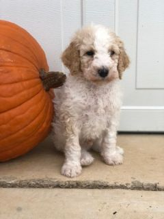 Goldendoodle-Poodle (Standard) Mix PUPPY FOR SALE ADN-100522 - Goldendoodle