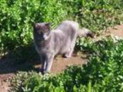 Adopt luna a Gray or Blue American Shorthair cat in Redlands, CA (24727225)